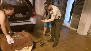 rescate mapache y tigrillo