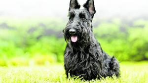 Terrier-Escoces