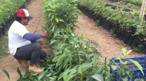 cultivo de aguacate