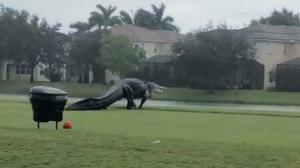 Nadie detuvo al caimán, que se dirigía al lago pese al ciclón que perturbó a Florida.