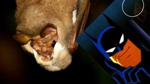murcielagos-delicioso-apareamiento-cortejo-mascaras