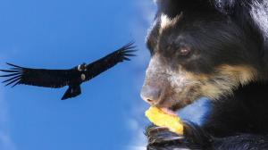 oso y cóndor