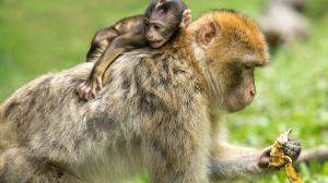 Buscan reducir el colesterol en monos.