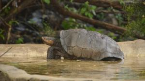Tortuga de Galápagos isla Fernandina