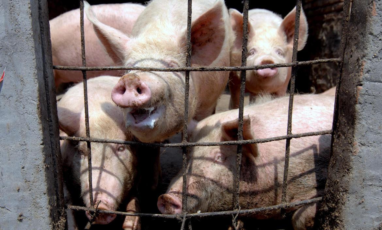 Cerdos investigados