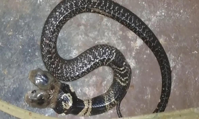 Imagen 191211211412-serpiente-de-dos-cabeza (28559676)