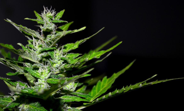 Imagen cannabis-2761102_1280