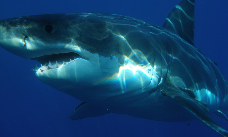 tiburon-blanco-depredadores-orcas-corazon-testiculos-higado