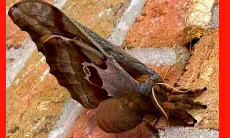 tarantula-voladora-polilla-gigante
