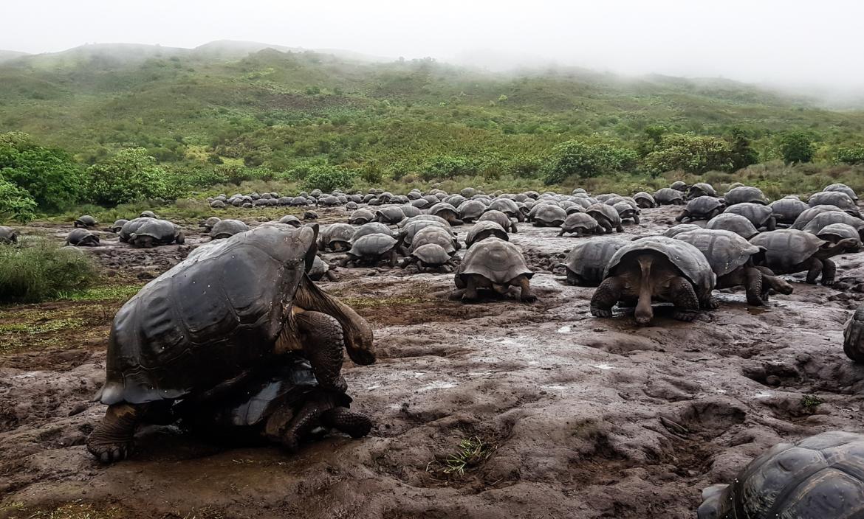 Tortugas gigantes de las islas Galápagos