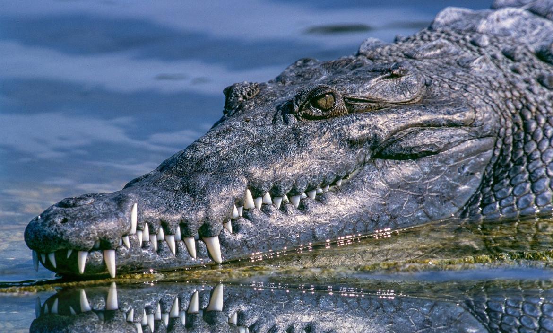 Un cocodrilo en extinción le llegó al comprador.
