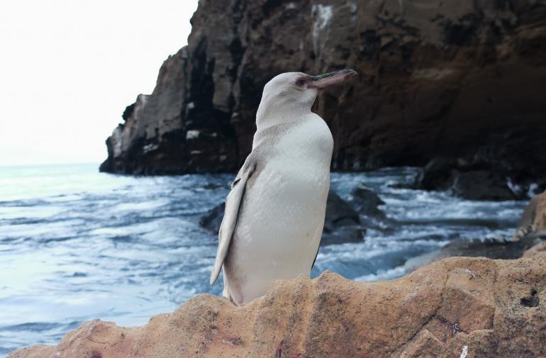 Pingüino blanco de Galápagos